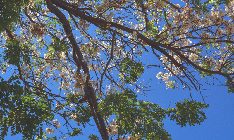 cherry blossoms in cebu